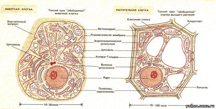 Схемы всех видов клеток